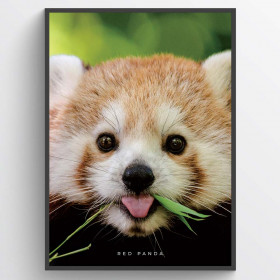 Red panda - poster wallsticker
