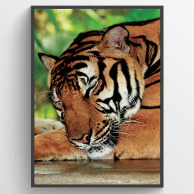 Sleeping tiger - poster wallsticker
